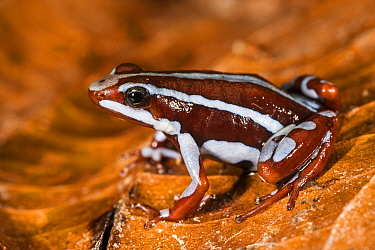 Anthony's Poison Arrow Frog (Epipedobates anthonyi), native to South America