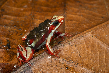 Anthony's Poison Arrow Frog (Epipedobates anthonyi) male carrying tadpoles, native to South America