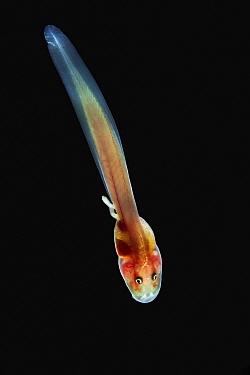 Glass Frog (Hyalinobatrachium aureoguttatum) tadpole, native to South America