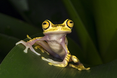 Chachi Tree Frog (Hypsiboas picturatus), native to South America