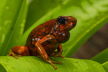 Pichincha Poison Arrow Frog (Oophaga sylvatica) calling, native to South America