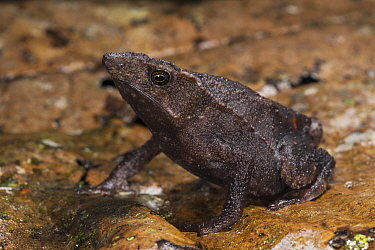 Valle Santiago Beaked Toad (Rhinella festae), native to South America