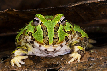 Pacific Horned Frog (Ceratophrys stolzmanni), native to South America