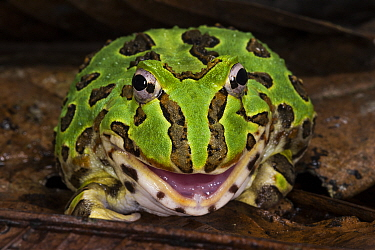 Pacific Horned Frog (Ceratophrys stolzmanni) in defensive posture, native to South America