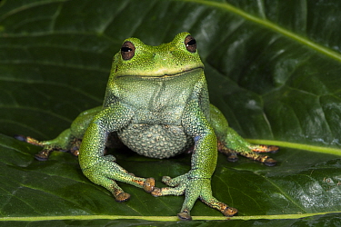 Marsupial Frog (Gastrotheca orophylax), native to South America