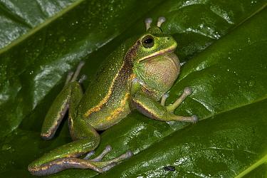 Silver Marsupial Frog (Gastrotheca plumbea) calling, Chimborazo Volcano, Andes, Ecuador
