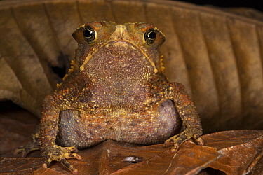 South American Common Toad (Rhinella margaritifera), native to South America