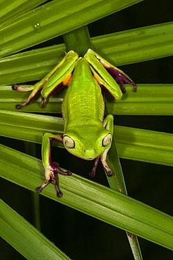 Agua Rica Leaf Frog (Phyllomedusa ecuatoriana) on palm leaf, native to South America