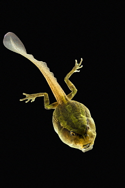 Marsupial Frog (Gastrotheca riobambae) tadpole, native to South America
