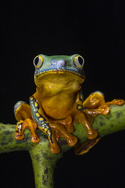 Splendid Leaf Frog (Agalychnis calcarifer), native to South America