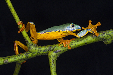 Splendid Leaf Frog (Agalychnis calcarifer) climbing, native to South America