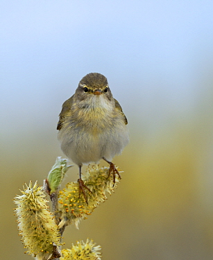 Willow Warbler (Phylloscopus trochilus), Norway