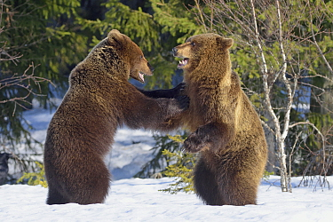 Brown Bear (Ursus arctos) pair fighting, Finland
