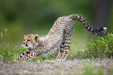Cheetah (Acinonyx jubatus) cub stretching, Ngorongoro Conservation Area, Tanzania