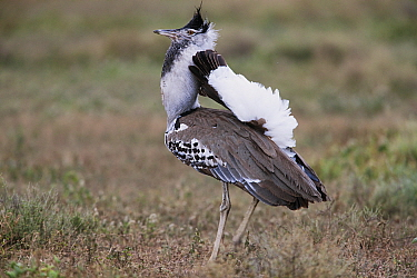 Kori Bustard (Ardeotis kori) in courtship display, Ngorongoro Conservation Area, Tanzania