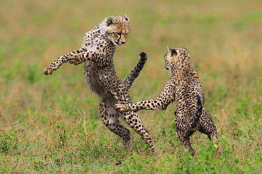 Cheetah (Acinonyx jubatus) cubs playing, Ngorongoro Conservation Area, Tanzania