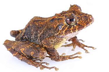Robber Frog (Pristimantis crenunguis), Septimo Paraiso Cloud Forest Reserve, Mindo, Ecuador