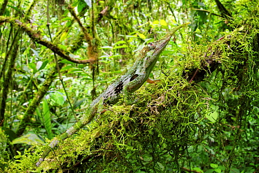 Horned Anole (Anolis proboscis) male in cloud forest, Mindo, Ecuador