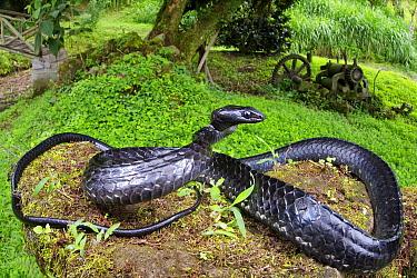 Large-scaled Black Tree Snake (Chironius grandisquamis) in defensive posture, Mindo, Ecuador