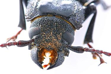 Long Horn Beetle (Mallodon baiulus), Septimo Paraiso Cloud Forest Reserve, Mindo, Ecuador
