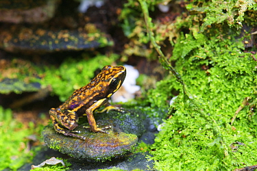 Poison Dart Frog (Epipedobates darwinwallacei) male, newly described species, Ecuador
