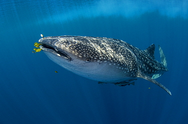 Whale Shark (Rhincodon typus) and Golden Trevally (Gnathanodon speciosus) group, Cenderawasih Bay, West Papua, Indonesia