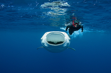 Whale Shark (Rhincodon typus) filter feeding near tourist, Cenderawasih Bay, West Papua, Indonesia