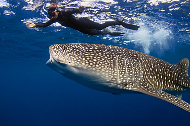 Whale Shark (Rhincodon typus) and tourist, Cenderawasih Bay, West Papua, Indonesia