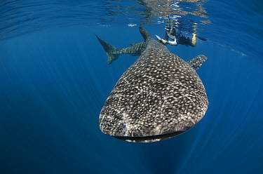Whale Shark (Rhincodon typus) biologist Brent Stewart from Hubbs Sea World Research Institute checking if shark has been PIT tagged as part of a study to determine geographical range, numbers and loca...