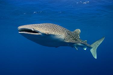 Whale Shark (Rhincodon typus), Cenderawasih Bay, West Papua, Indonesia