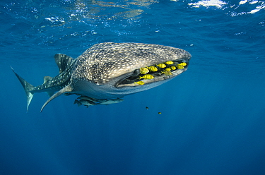 Whale Shark (Rhincodon typus) and Golden Trevally (Gnathanodon speciosus) school, Cenderawasih Bay, West Papua, Indonesia