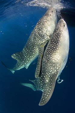 Whale Shark (Rhincodon typus) pair filter feeding at floating fishing platform, Cenderawasih Bay, West Papua, Indonesia