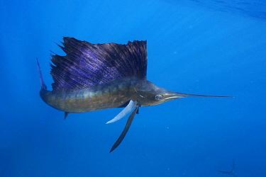 Atlantic Sailfish (Istiophorus albicans), Isla Mujeres, Mexico