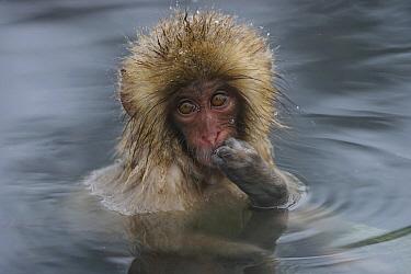 Japanese Macaque (Macaca fuscata) young in hot spring, Jigokudani, Japan