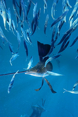 Atlantic Sailfish (Istiophorus albicans) hunting Round Sardinella (Sardinella aurita) school, Isla Mujeres, Mexico