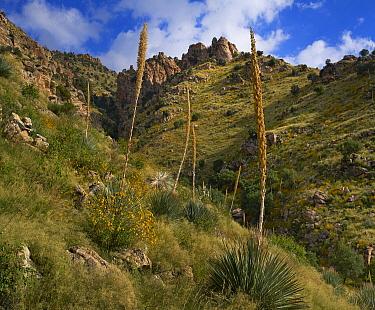 Agave (Agave sp) flowering, Molino Canyon, Coronado National Forest, Arizona