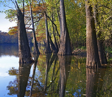 Bald Cypress (Taxodium distichum) trees in wetland, White River National Wildlife Refuge, Arkansas