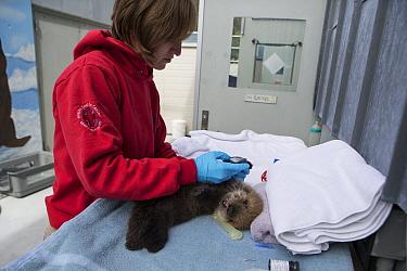 Sea Otter (Enhydra lutris) stranding supervisor, Halley Werner, taking blood sample from three week old orphaned pup, Alaska SeaLife Center, Seward, Alaska