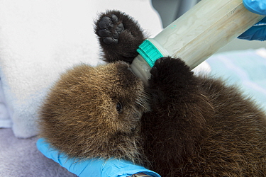 Sea Otter (Enhydra lutris) three week old orphaned pup being bottle-fed, Alaska SeaLife Center, Seward, Alaska