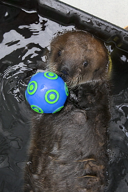 Sea Otter (Enhydra lutris) three week old orphaned pup playing with toy, Alaska SeaLife Center, Seward, Alaska