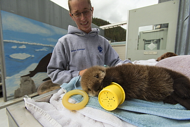 Sea Otter (Enhydra lutris) caretaker, Deanna Troeauga, with three week old orphaned pup, Alaska SeaLife Center, Seward, Alaska