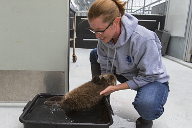 Sea Otter (Enhydra lutris) caretaker, Deanna Troeauga, placing three week old orphaned pup in water, Alaska SeaLife Center, Seward, Alaska