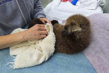 Sea Otter (Enhydra lutris) three week old orphaned pup being dried off, Alaska SeaLife Center, Seward, Alaska