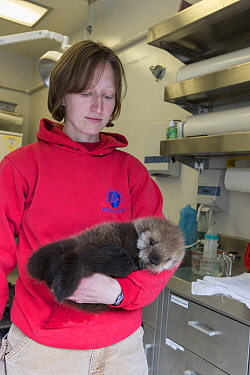 Sea Otter (Enhydra lutris) stranding supervisor, Halley Werner, carrying three week old orphaned pup, Alaska SeaLife Center, Seward, Alaska
