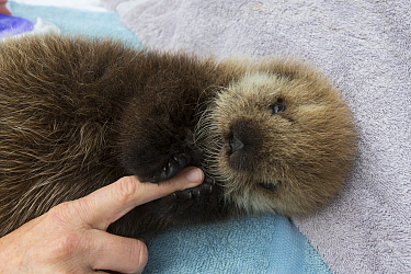 Sea Otter (Enhydra lutris) three week old orphaned pup holding caretaker finger, Alaska SeaLife Center, Seward, Alaska