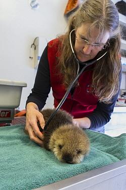 Sea Otter (Enhydra lutris) veterinarian, Carrie Goertz, examining three week old orphaned pup, Alaska SeaLife Center, Seward, Alaska