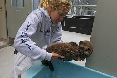 Sea Otter (Enhydra lutris) caretaker, Julie McCarthy, carrying three week old orphaned pup, Alaska SeaLife Center, Seward, Alaska