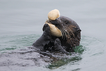 Sea Otter (Enhydra lutris) feeding on clam, Monterey Bay, California