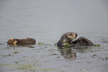 Sea Otter (Enhydra lutris) mother and two week old pup wrapped in eelgrass, Monterey Bay, California