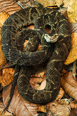 Fer-de-lance (Bothrops asper), native to South America